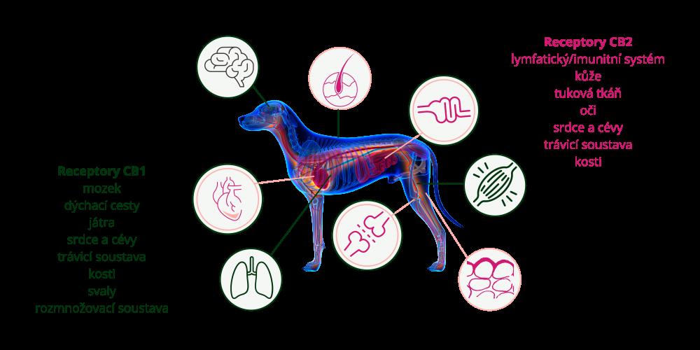 Kanabinoidní receptory